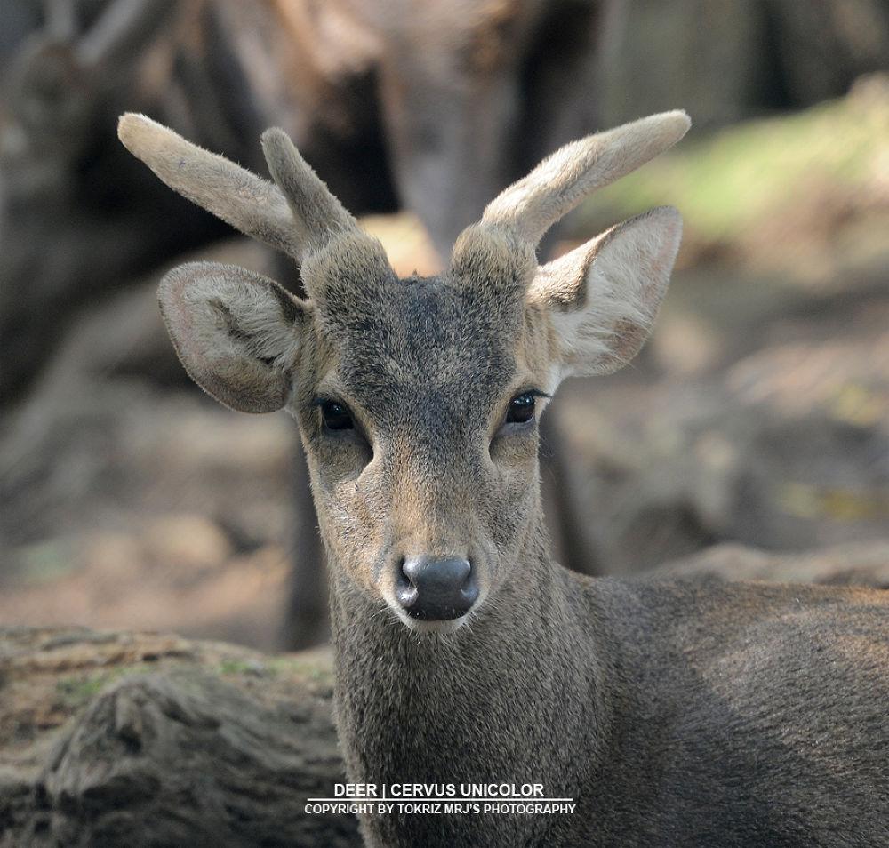 deer_2 by Mohd Ridhwan Jamian (TokRiz MRJ)