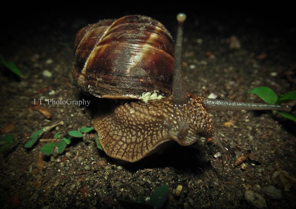Snail  by IvanTemov