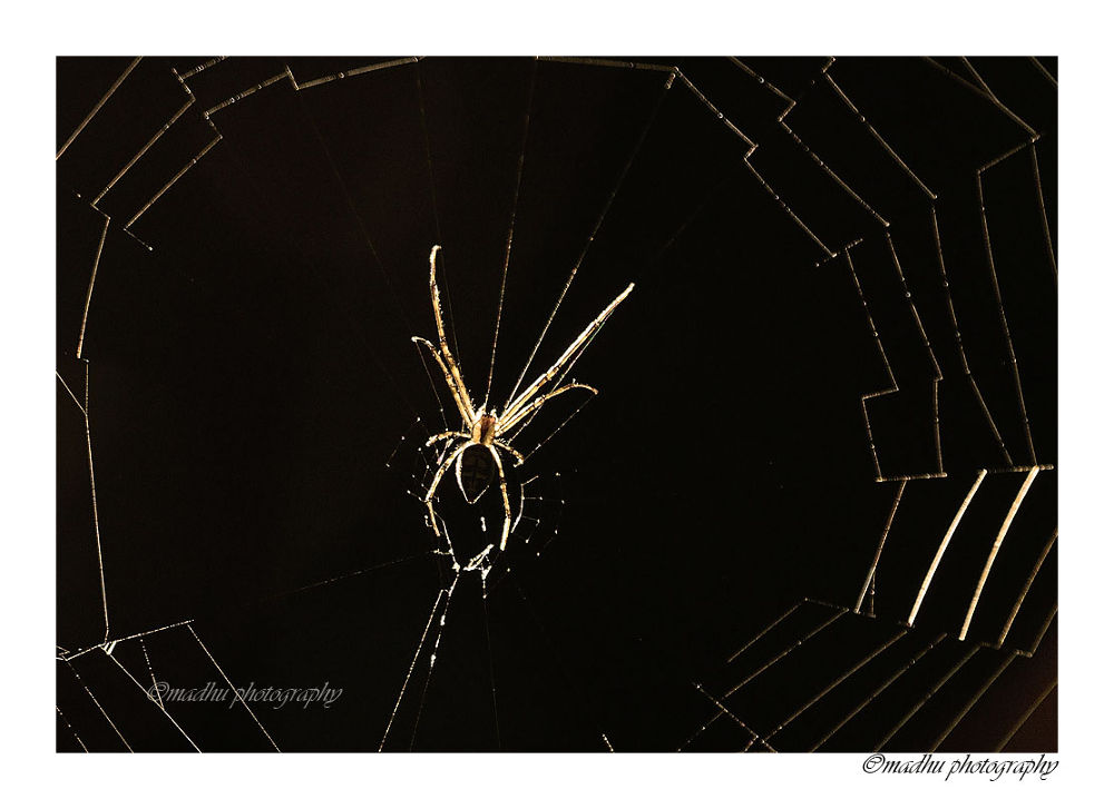Glittering Spider  by madhupayyanvellatinkara