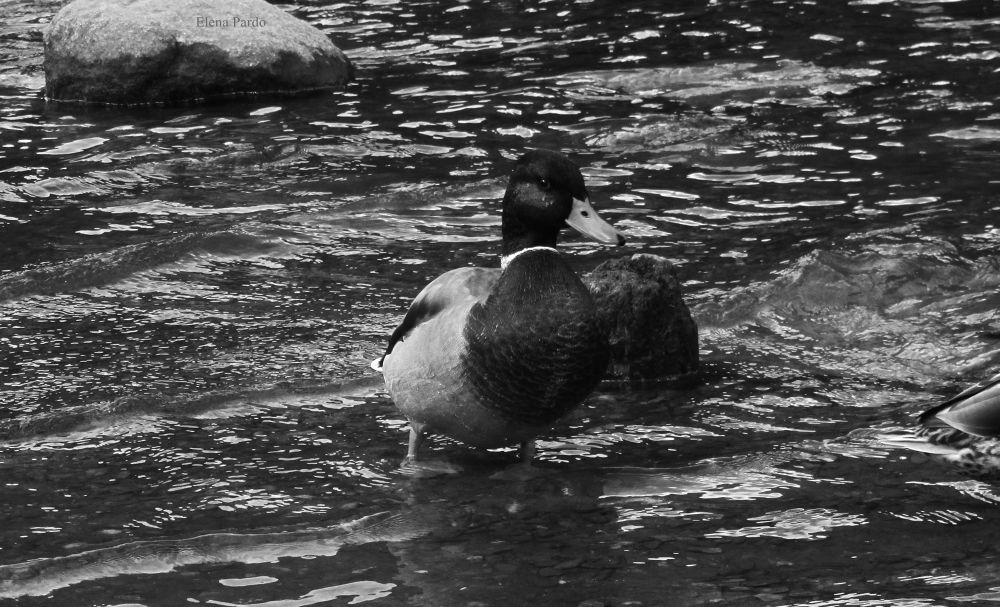 Photo in Animal #ducks #ducks in the water #water #animals #nature #plants #365 days #project 365 days #elena pardo #b&w #black and white