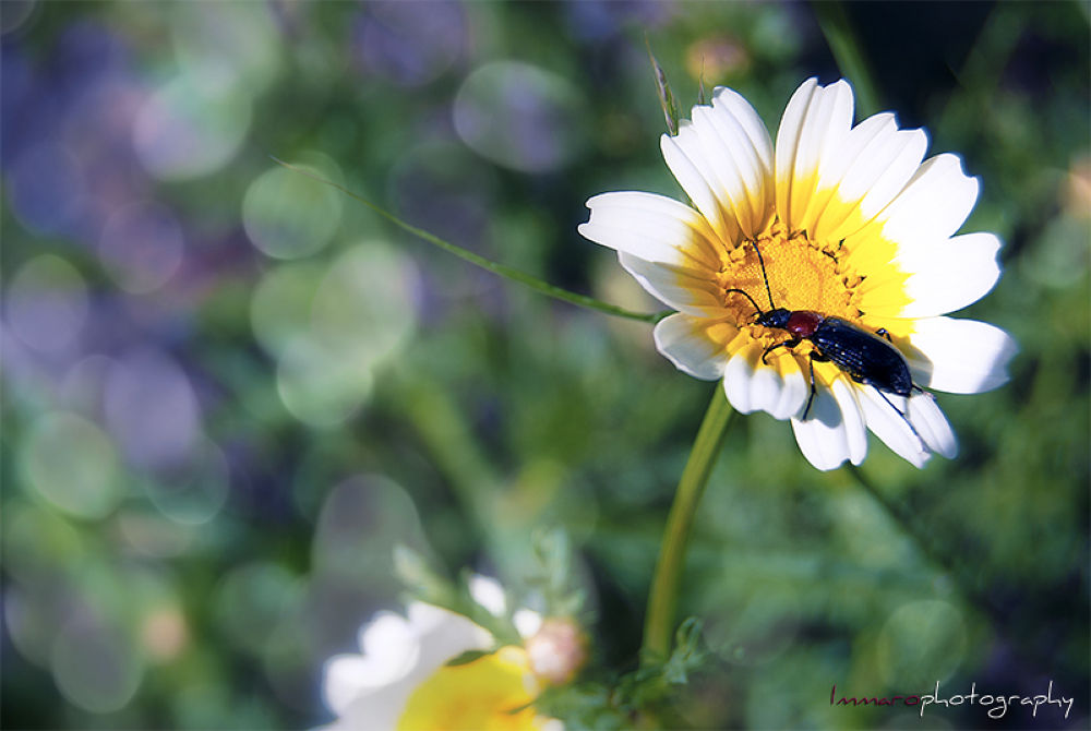 Daisy by ImmaroPhotography