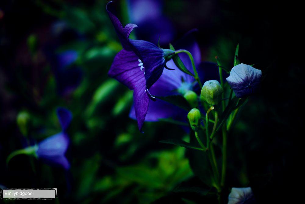 Blue Flower  by Emily Bidgood