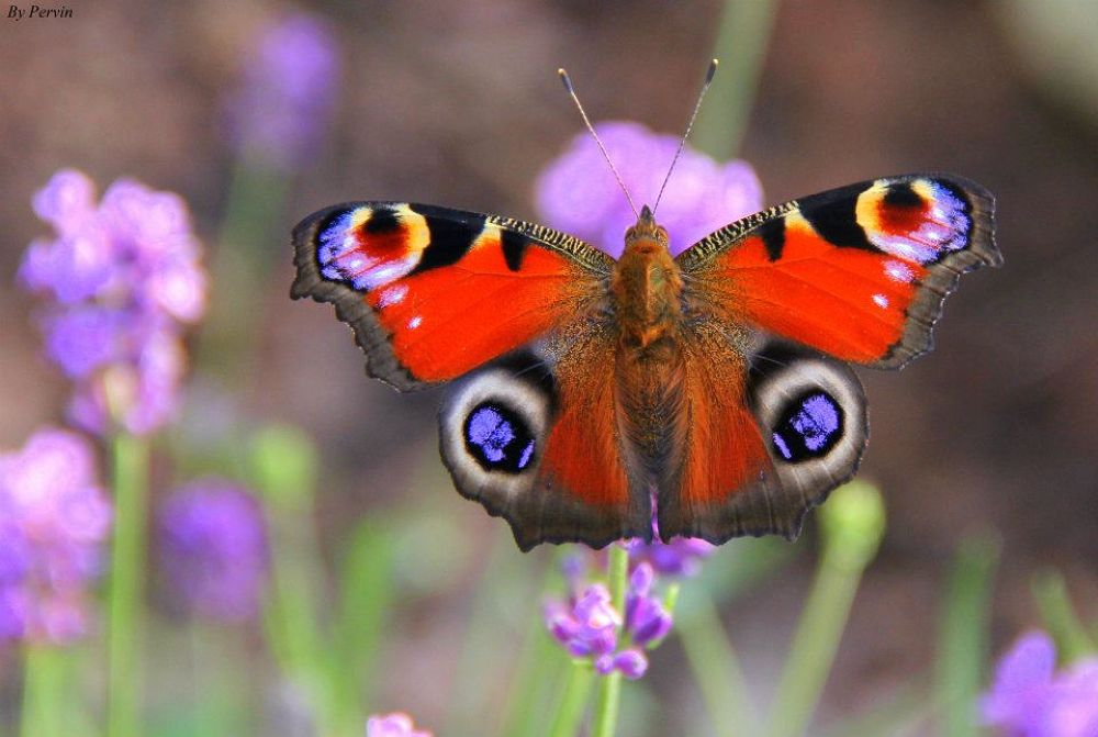 Peacock Butterfly by pervinodabas