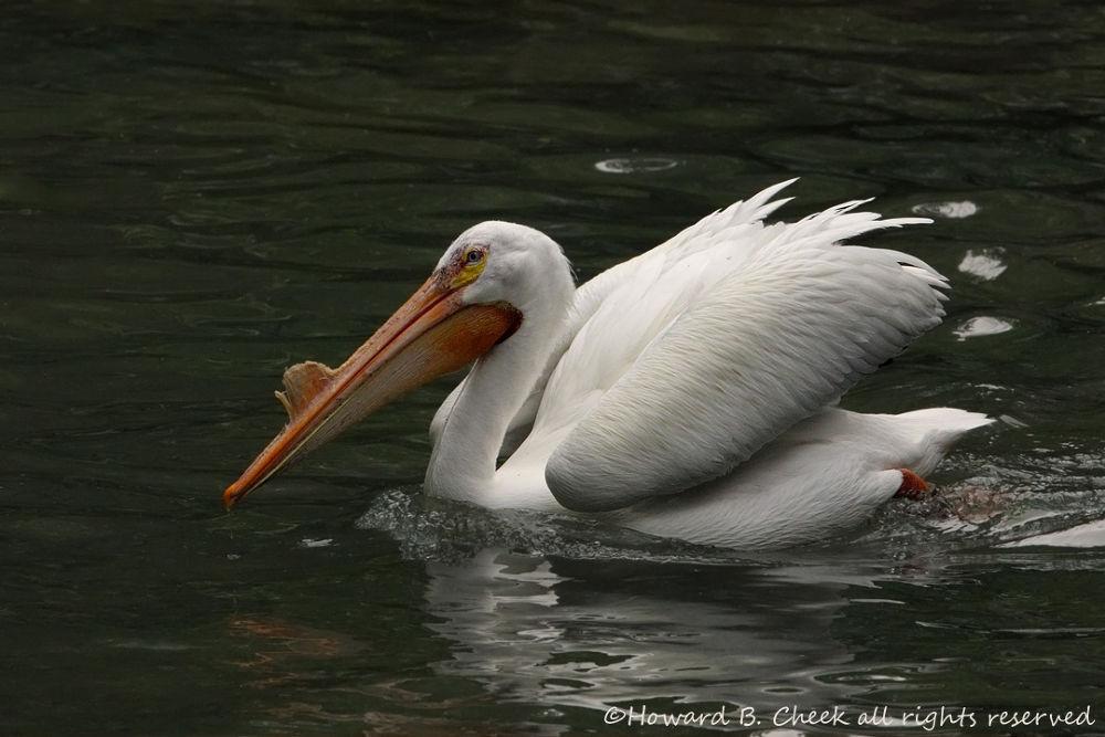 White Pelican by marhowie