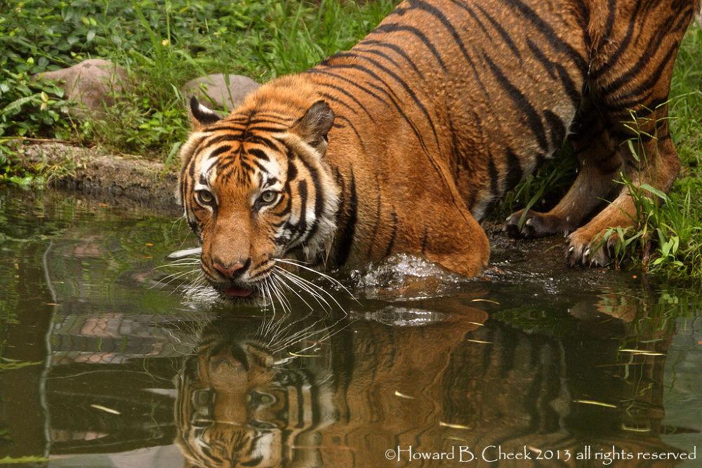 Indochinese Tiger by marhowie