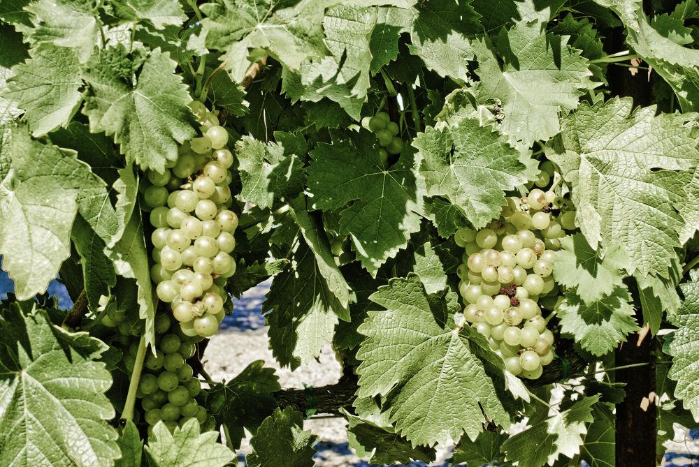 Napa valley Grapes by davidperea