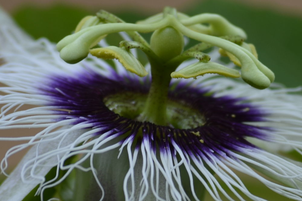 Photo in Macro #inside beauty #flower beauty #macro #purple girl #blossoming #show off #flowers mature time #fruit flower
