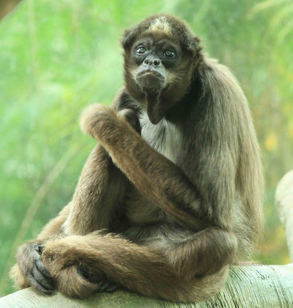 Columbian Brown Spider Monkey  by hernangaspalinao3