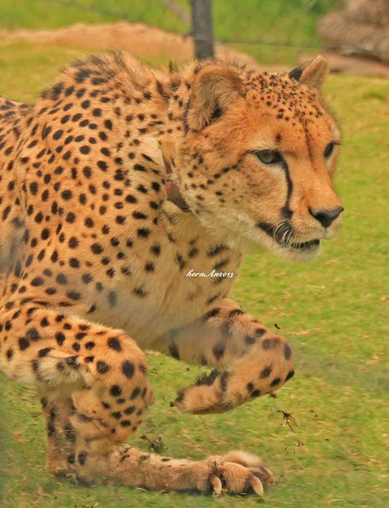 Cheetah by hernangaspalinao3