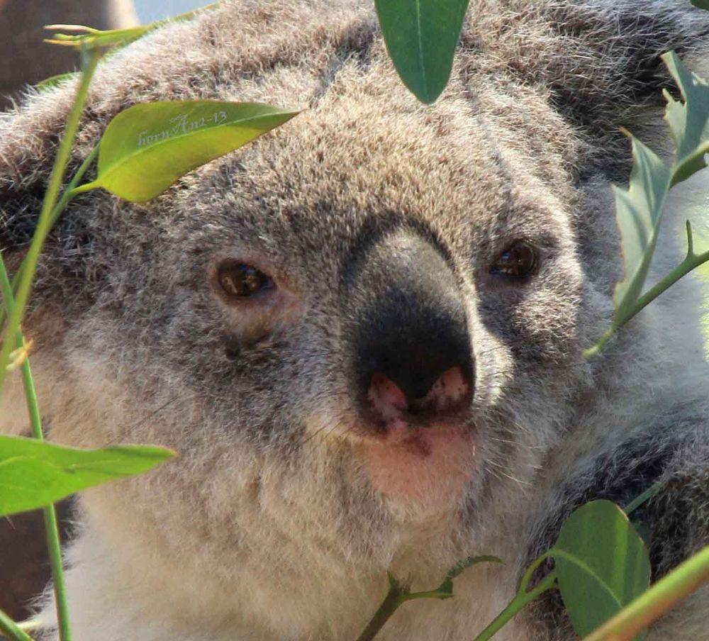 Koala by hernangaspalinao3