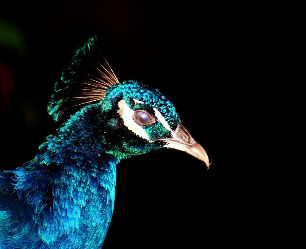 blind peacock by dzulkarnainahmad