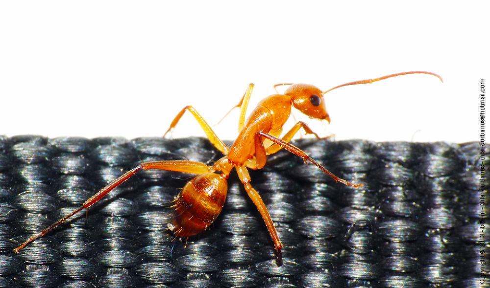 Ant by Orlando Barros