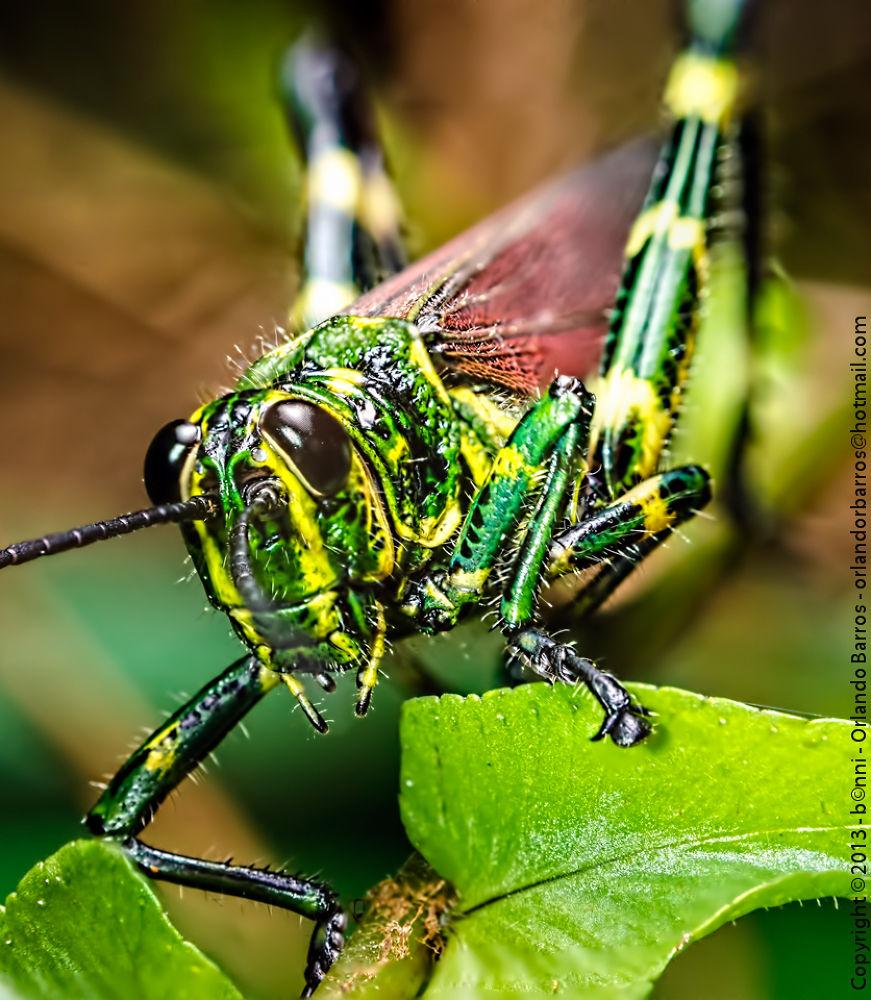 Grasshopper by Orlando Barros