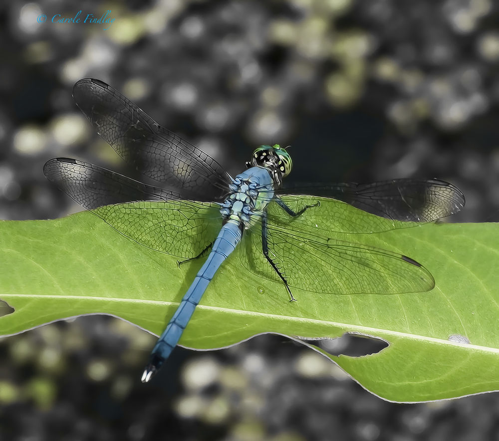 Photo in Nature #dragonfly #photo art #art #wings #blue