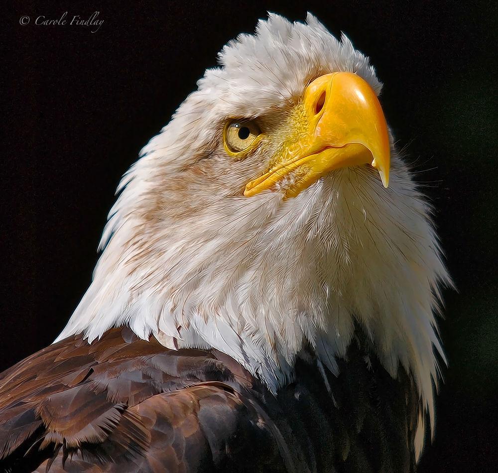 Bald Eagle portrait (Art) by cazfindlay