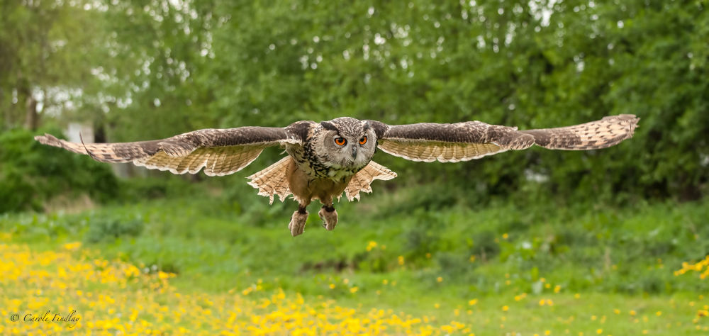Eurasian Eagle Owl in flight (taken at a Falconry Centre) by cazfindlay