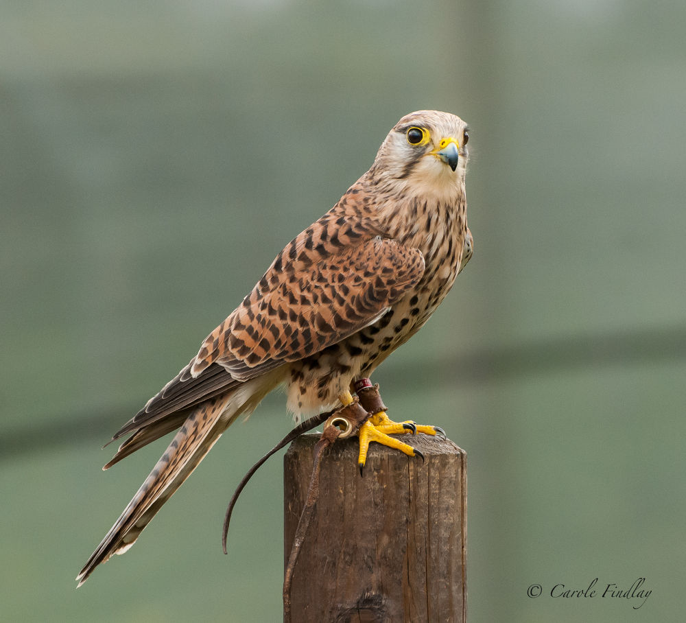 European Kestrel (female) (taken at a falconry centre) by cazfindlay