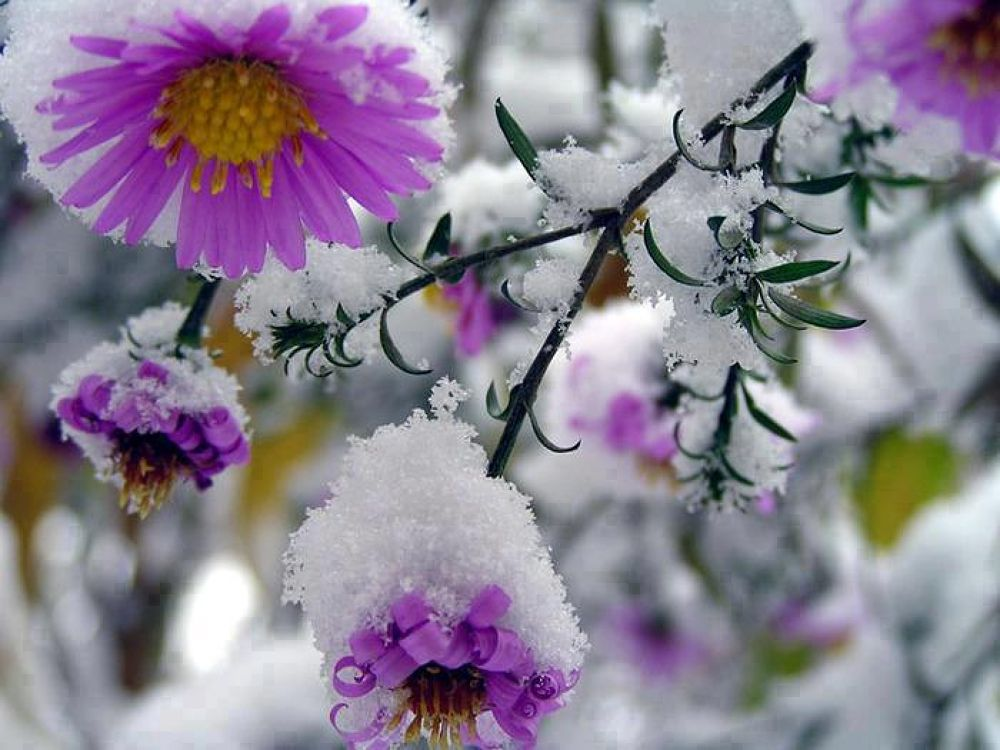 purple_snow by Lalit