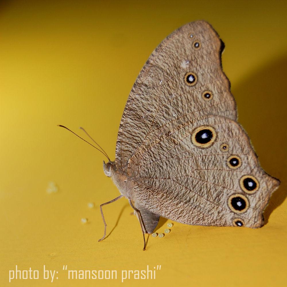 butterfly egs by mansoonprashi