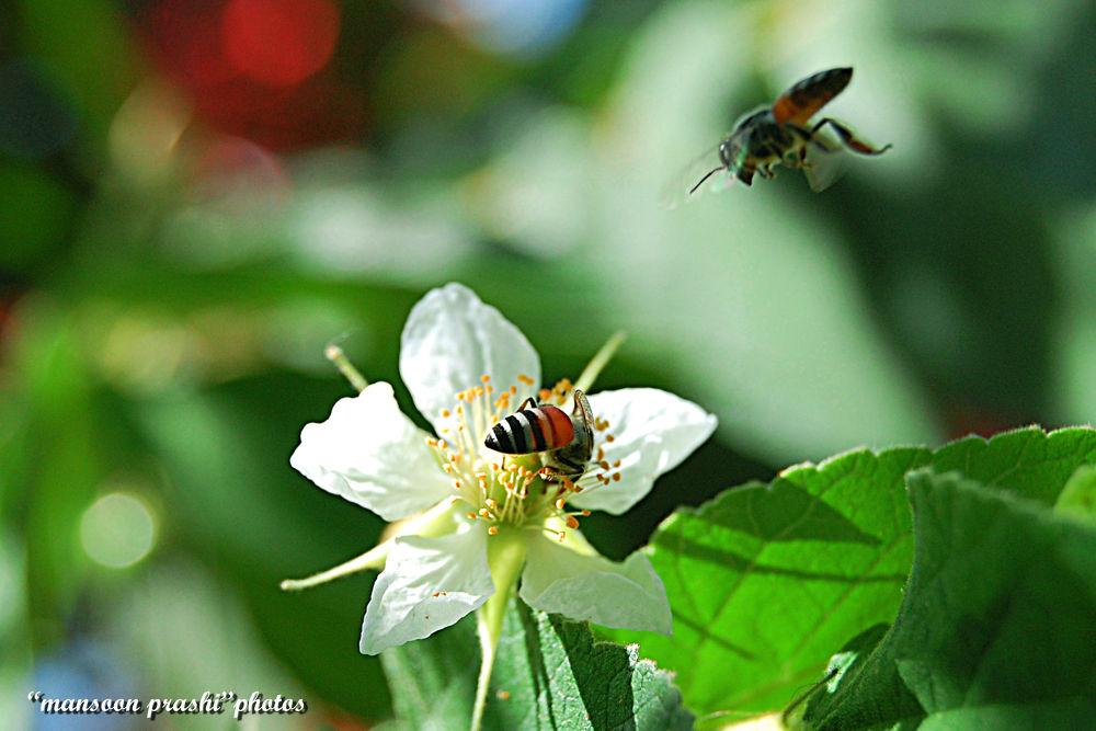 hony by mansoonprashi