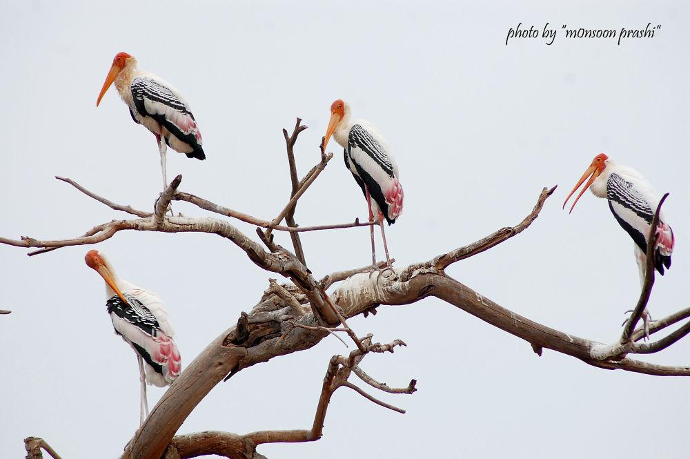 id= Painted Stork  by mansoonprashi