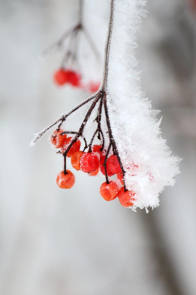 Frozen Berries. by horslip