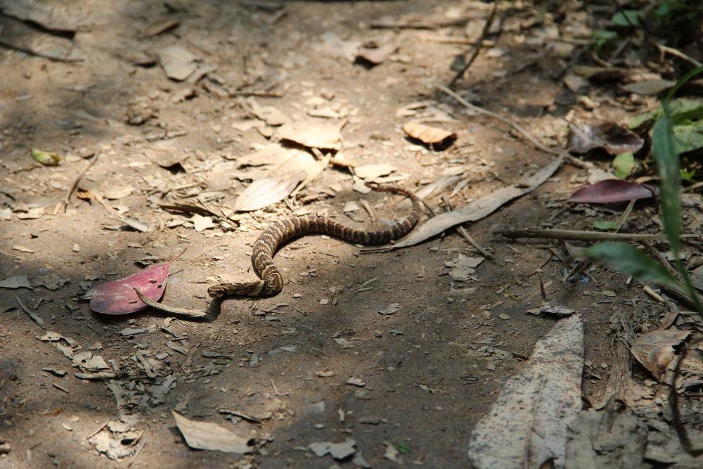 Jararaca Snake by DeividiCorrea
