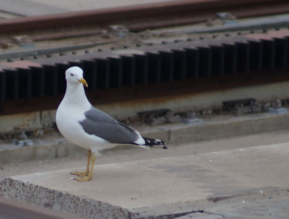 Seagull  by Mainmariner