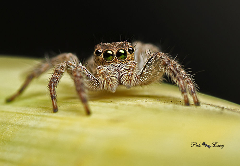 Photo in Macro #spider #jumping spider #malaysia #pulau pinang #paklang #macro #close up