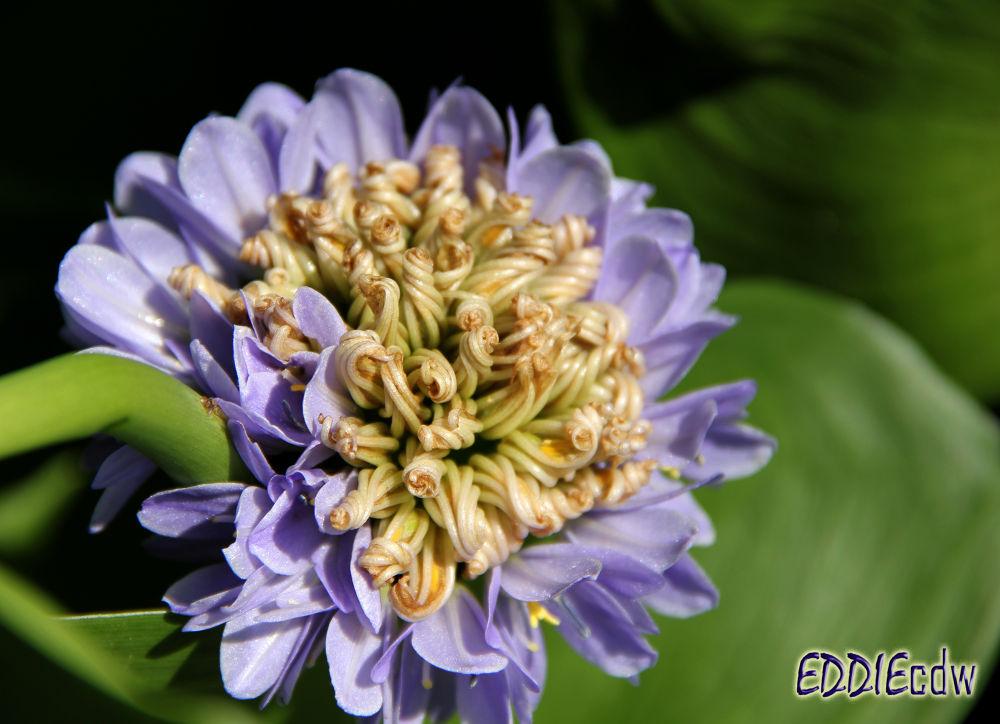 Heartleaf False Pickerelweed [Pontederiaceae] 箭叶雨久花 by EddieCDW