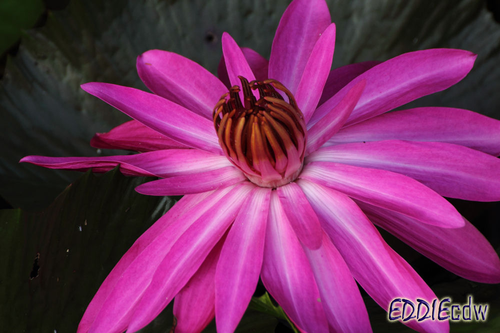Water Lily [Nymphaeaceae] 睡莲 by EddieCDW