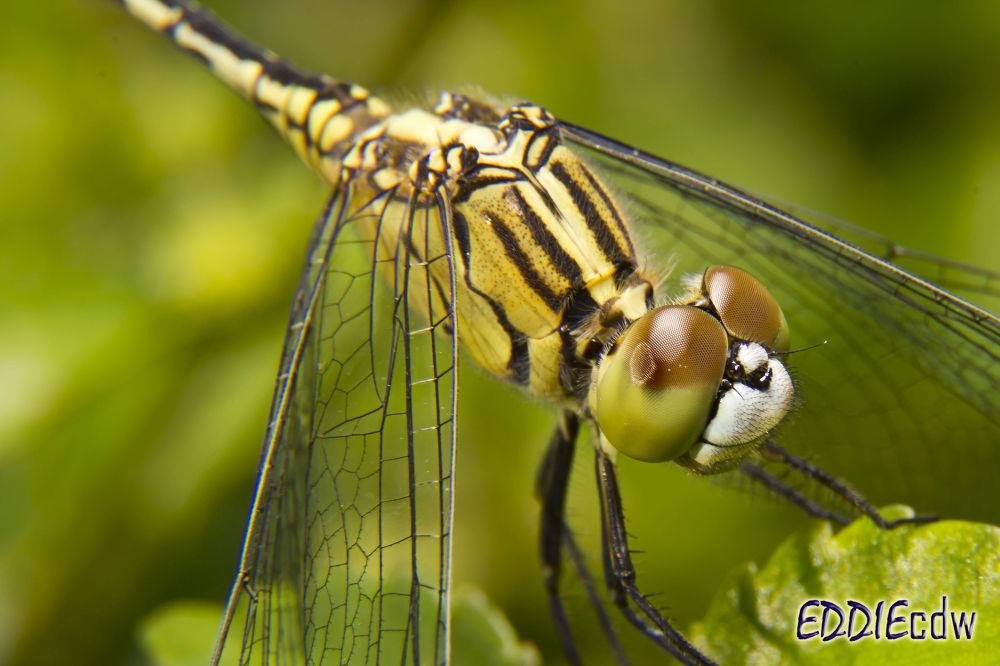 Dragonfly by EddieCDW
