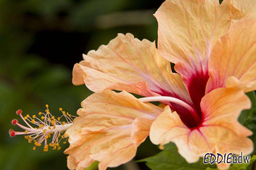 Hibiscus [Malvaceae] 木槿花 by EddieCDW