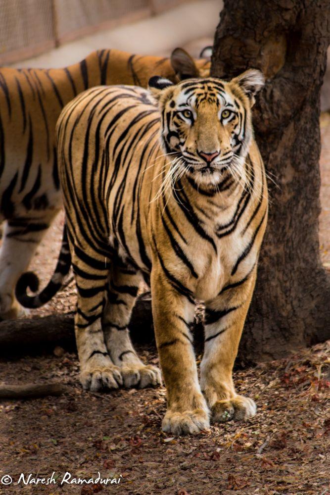 The Royal Bengal Tiger 3 by nareshramadurai