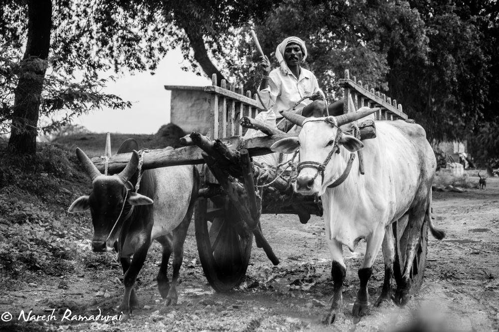Photo in Street Photography #bullock cart #ox #india #villages #farming #dream lenz #naresh ramadurai #dreamlenz