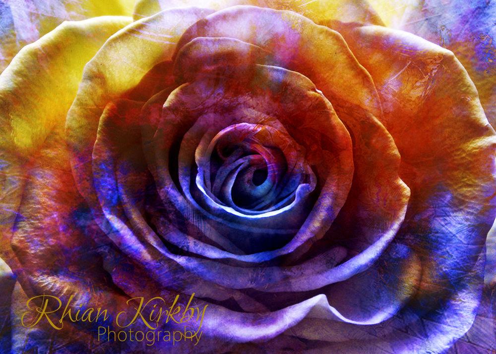 Rose of Holi  by Rhian Kirkby