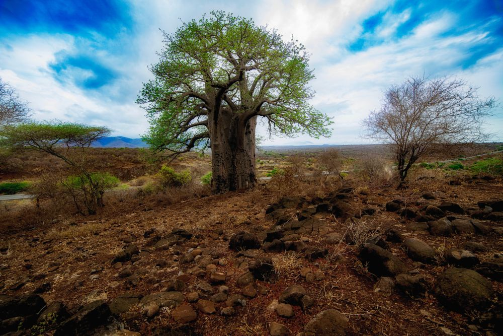 Photo in Landscape #tree #landscape #baoba #africa #nature #fineart