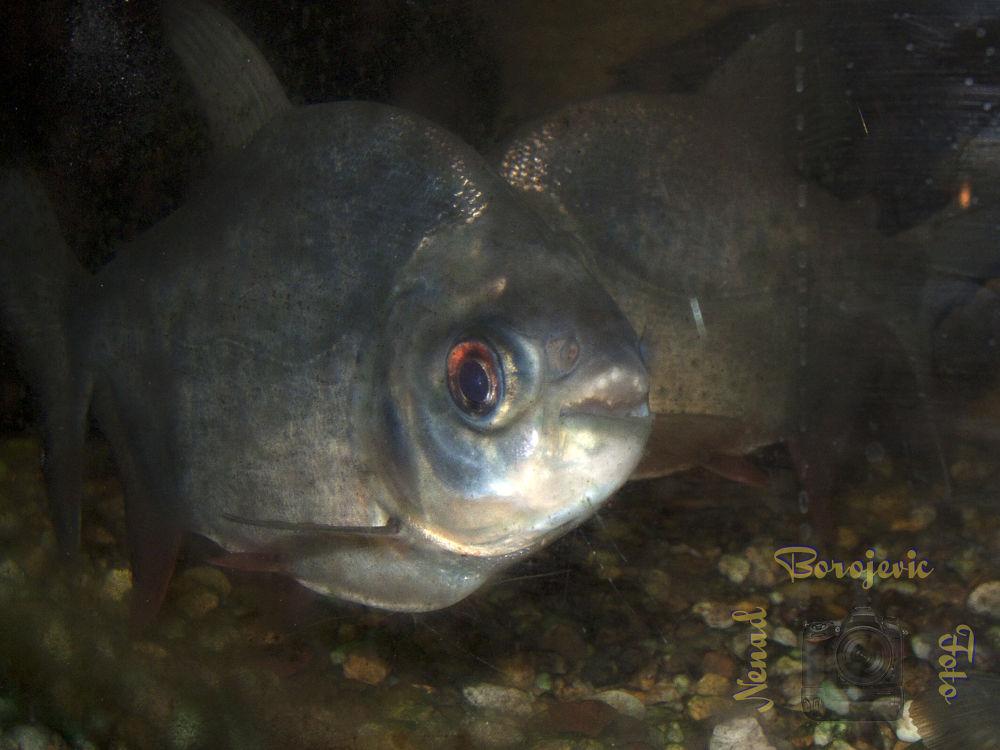 Piranha II by nenadborojevicfoto