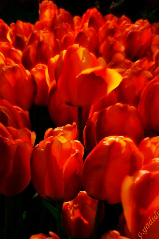 tulips by cigdem