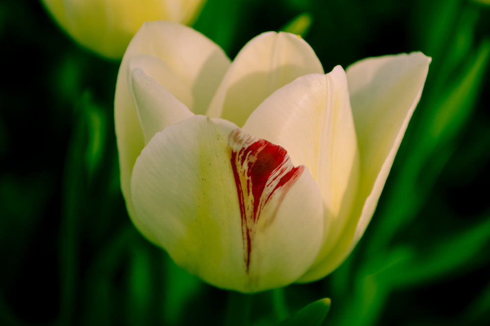 tulip by cigdem