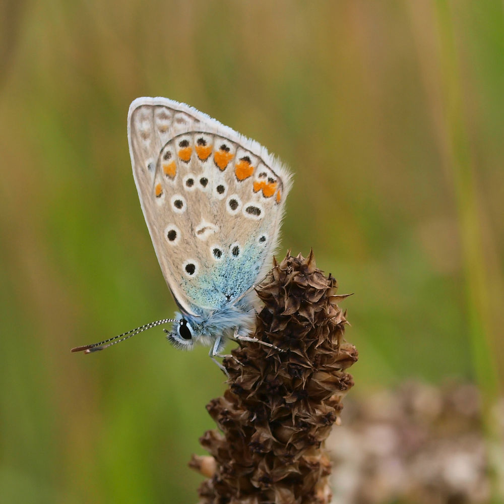 Common Blue by gezienapomplooman