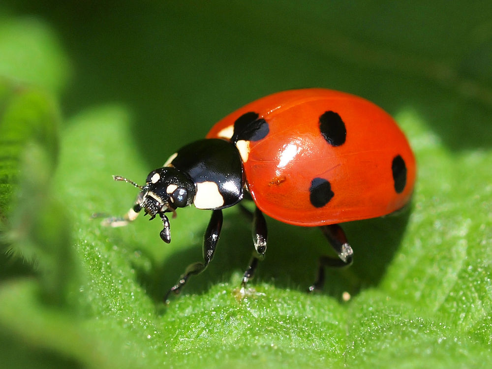 Ladybug by gezienapomplooman