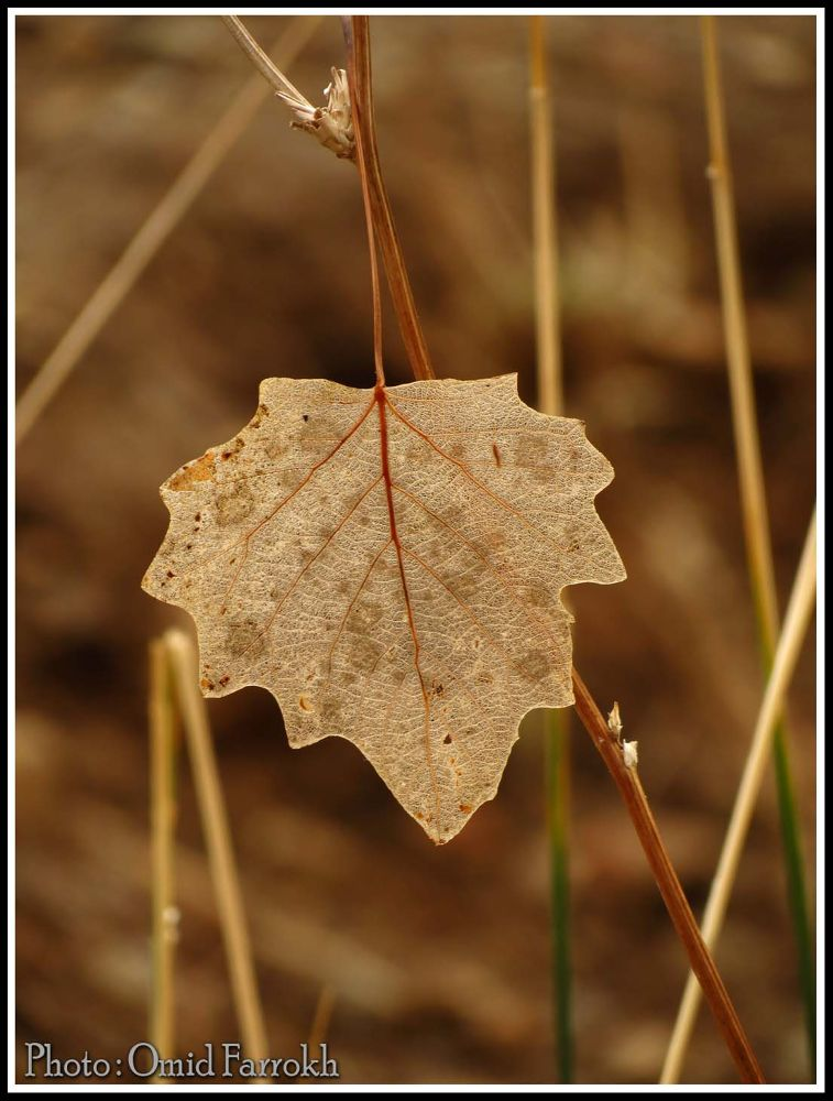 Leaf of Autumn by omidfarrokh