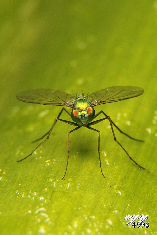 Photo in Macro #canon eos 550d #canon ef-s 18-135mm f3.5-5.6 i #cyy4993 #长足虻 #dolichopodidae #long-legged fly