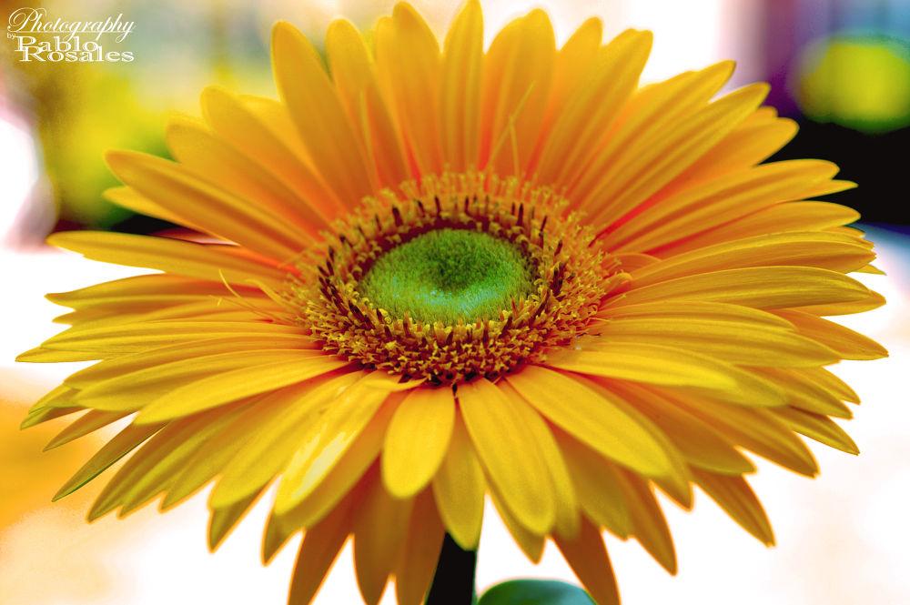 Photo in Landscape #daisy #yellow #flower #garden