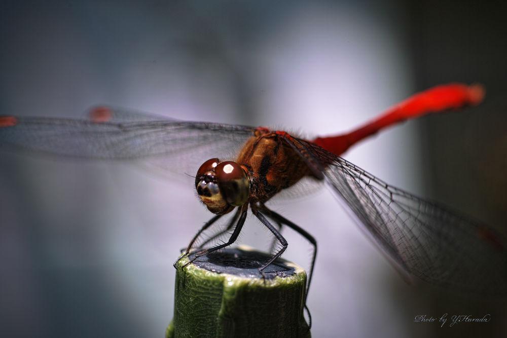 Dragonfly by Yuichi Harada