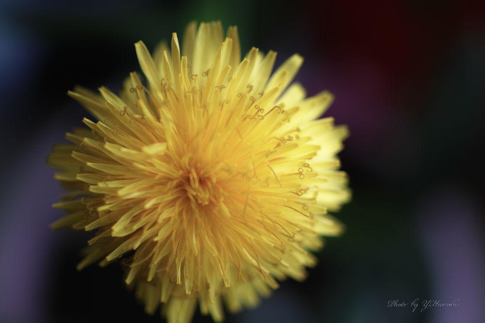 Dandelion by Yuichi Harada