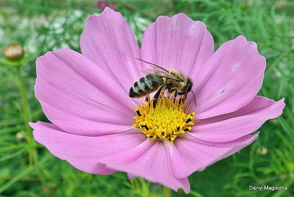 Szellő rózsa méhecskével! by danyimagdolna
