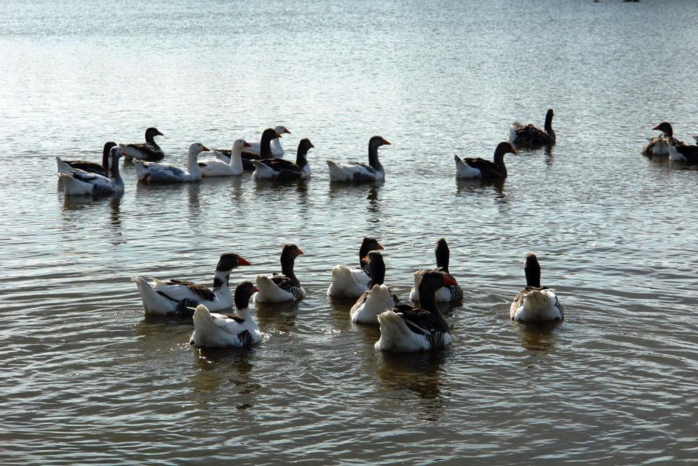 Village geese by Japonkat