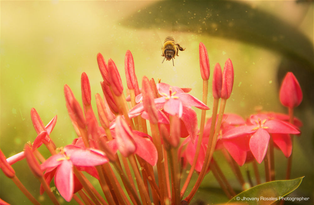 a little big bee  by Jhovany Rosales